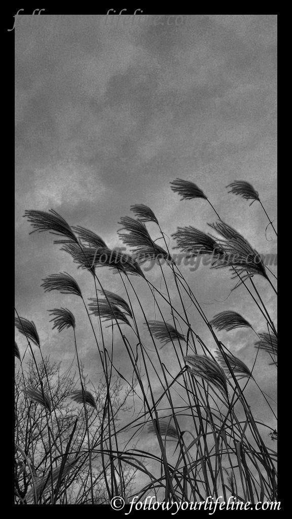 Gräser im Wind, schwarz weiß